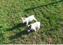 Bulldog francés cachorritos con pedigrí