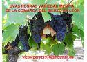 uva mencía de la comarca del bierzo - En León, Ponferrada