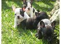 Bulldog Francés, preciosos cachorros de Pura Raza  - En Baleares, Palma de Mallorca