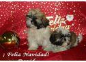 Cachorros de shih tzu ¡muy buen precio! - En Navarra, Pamplona/Iruña